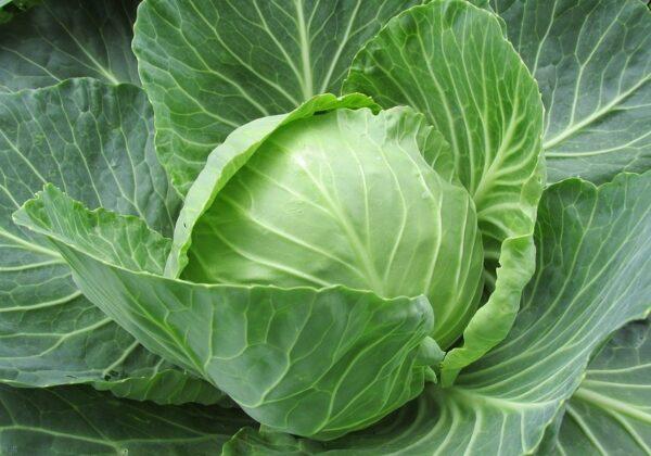 white-cabbage